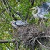 DSC_4837 nesting pair of heron's