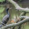 DSC_0070 cormorant(T)