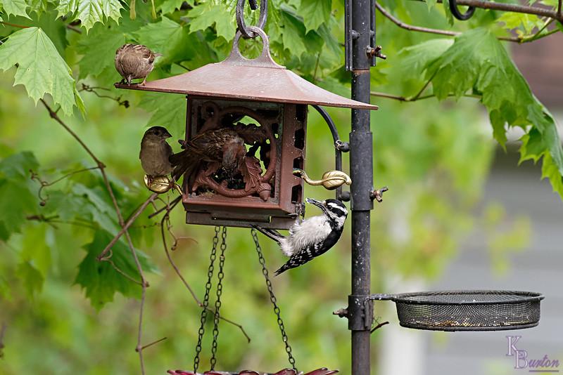 DSC_5627 backyard visitors_DxO