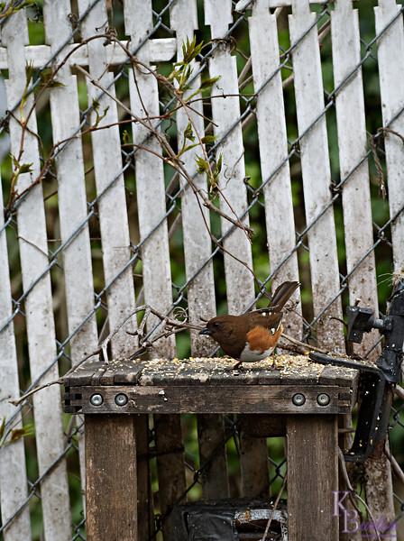 DSC_9424 backyard visitors_DxO