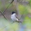 DSC_0901 eastern kingbird_DxO