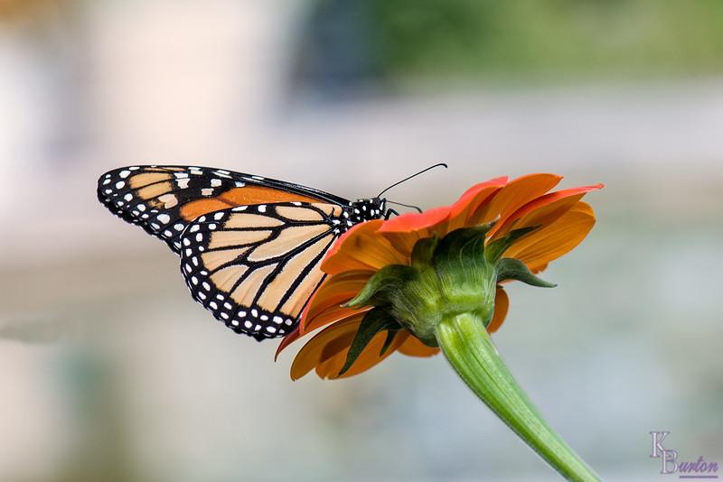 DSC_6405 monarch butterfly