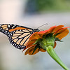 DSC_6405 monarch butterfly