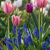 DSC_6387 tulips