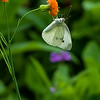 DSC_4147 cabbage white butterfly