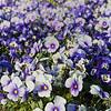 DSC_2046 purple pansies