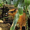 Barely bigger than a good sized house cat, this Malaysian mouse deer is an unexpected inhabitant in this man made tropical bird paradise at the Central Park zoo, and often surprisingly hard to spot.