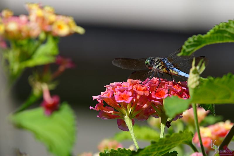 DSC_8758 dragonfly_Nik_DxO
