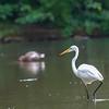 DSC_0529 great white egret