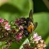 DSC_7061 bumble bee