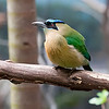 DSC_1506 blue crowned motmot