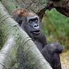 DSC_0964_ gorilla_DxO