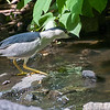 DSC_0448 night heron