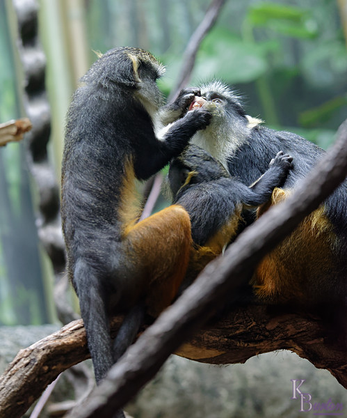 DSC_0857 Wolfe's monkeys