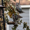 DSC_5710 backyard bird feeders