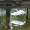 DSC_5602  great white egret(TS)