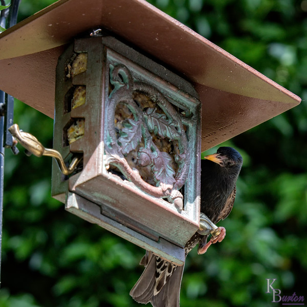 DSC_4336 backyard bird feeder