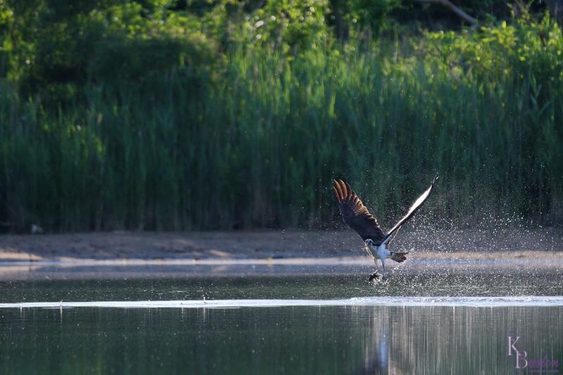 DSC_0331 osprey's on the hunt_DxO