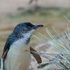 DSC_9637 little penguin