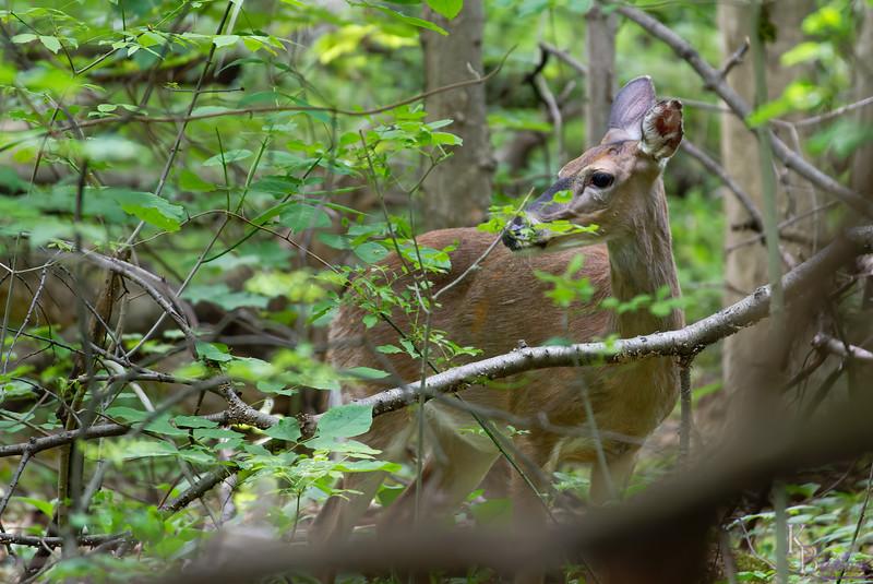 DSC_9089_Deer me!_DxO