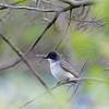 DSC_0893 eastern kingbird_DxO