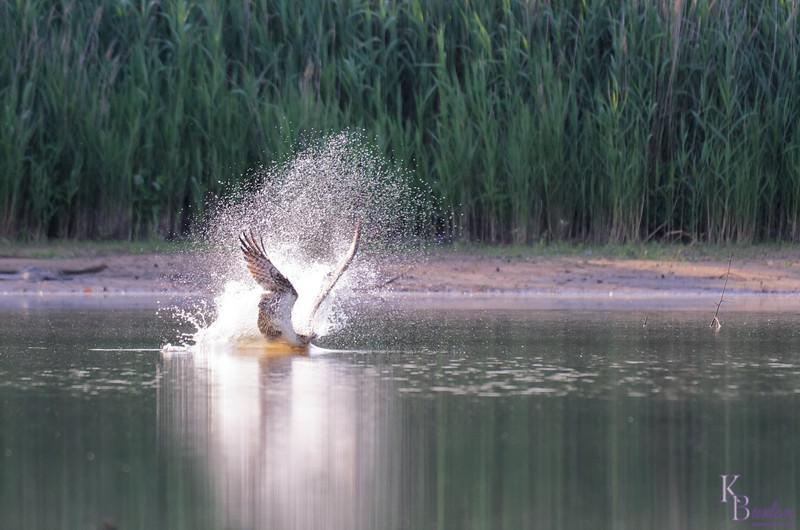 DSC_0297 osprey's on the hunt_DxO