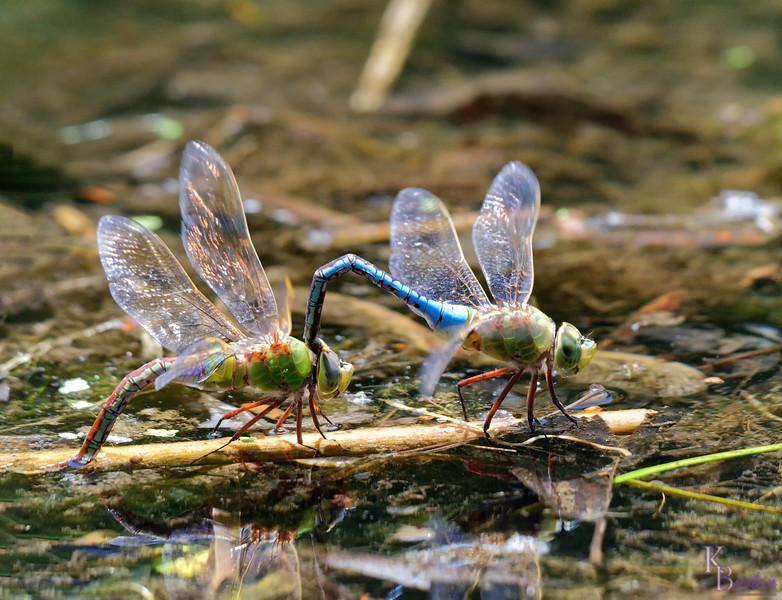 DSC_9816 mating dragonflies