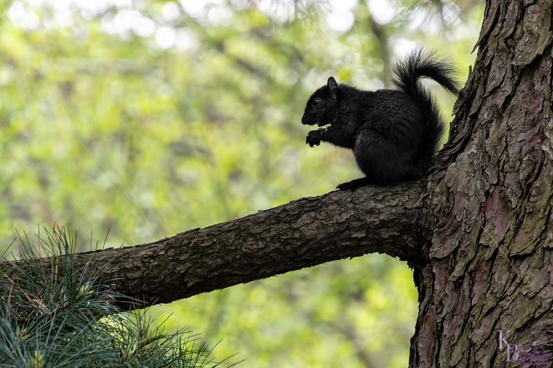DSC_3335 black squirrel
