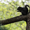 DSC_3335 black squirrel