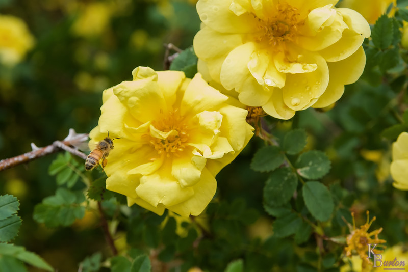 DSC_5863 scenes from the Rose Garden