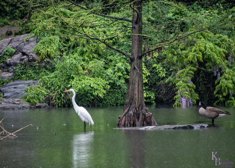 DSC_9260 rainy day at the pond