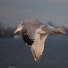 dsc_3233 gull gliding in the afternoon sun