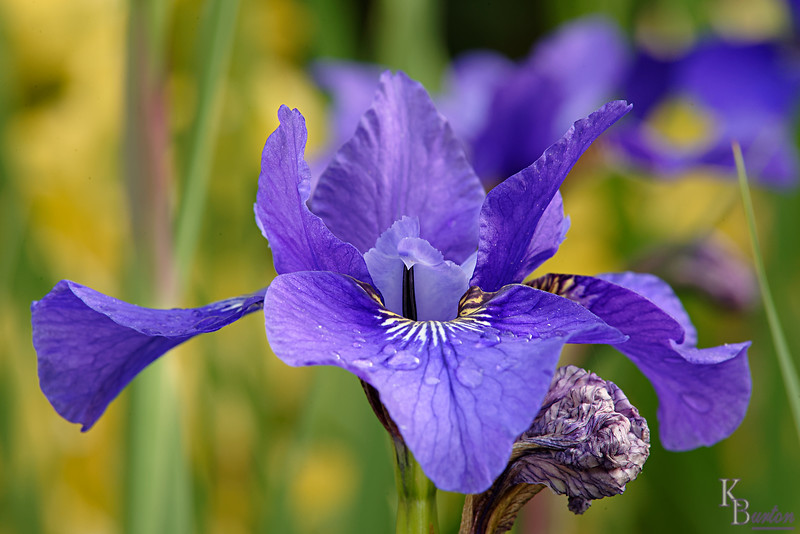 DSC_7042 purple iris after the rain_DxO
