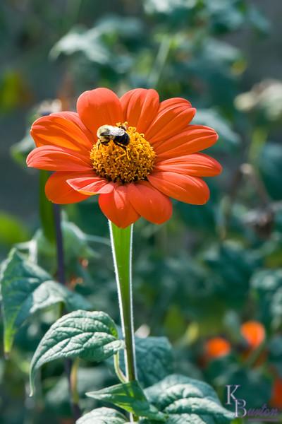 DSC_6262 bumblebee