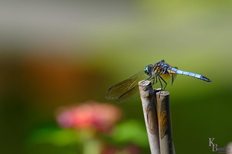 DSC_8756 dragonfly_DxO