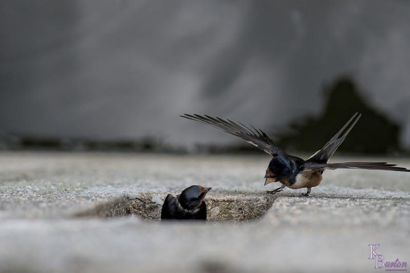 DSC_2119 swallows