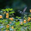 DSC_5496 hummingbird