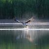 DSC_0329_osprey's onthe hunt_DxO