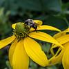DSC_3132 bumble bee