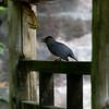 DSC_0384 catbird_DxO