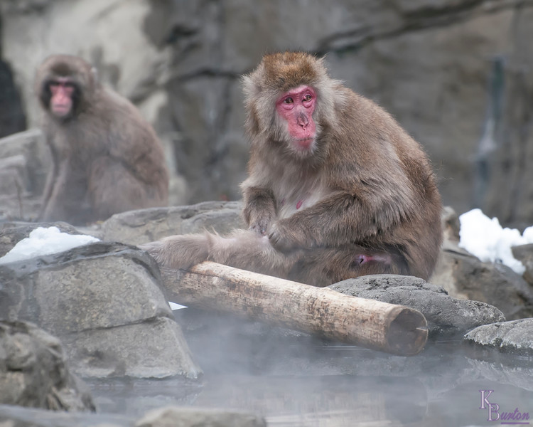 DSC_2319 female snow monkey cleaning leg