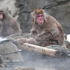 DSC_2319 female snow monkey cleaning leg
