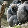 DSC_1390 gorilla's