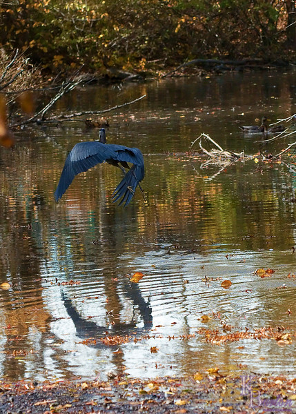 dsc_8535 Great blue with catfish