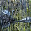 DSC_6508 swan's nest