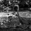 DSC_0723 immature heron