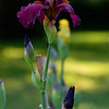 DSC_8059_DxO purple iris