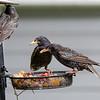 DSC_2579 backyard bird feeder