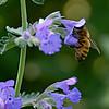 DSC_0686 honeybee_DxO