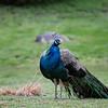 DSC_6196 peacock